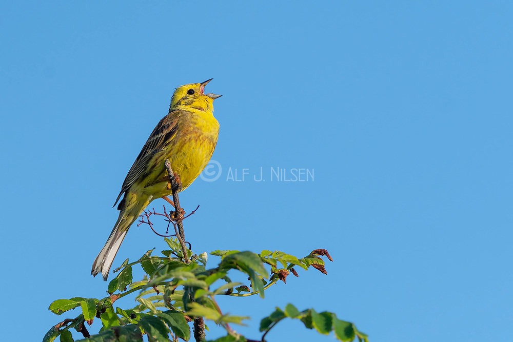 Yellowhammer (Emberiza citrinella) from Vejlerne, northern Denmark in June.