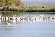 a flock of pelicans (Pelecanus sp.) Pelicans are found on all continents except Antarctica, occurring mainly in warmer regions. Photographed at Agamon lake, Hula Valley, Israel, in November