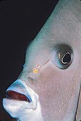 gray angelfish, Pomacanthus arcuatus, Homosaurus, Islamorada, Florida, Atlantic Ocean