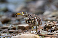 The Indian pond heron or paddybird (Ardeola grayii) is a small heron. It is of Old World origins, breeding in southern Iran and east to the Indian subcontinent, Burma, and Sri Lanka. They are widespread and common but can be easily missed when they stalk prey at the edge of small water-bodies or even when they roost close to human habitations.