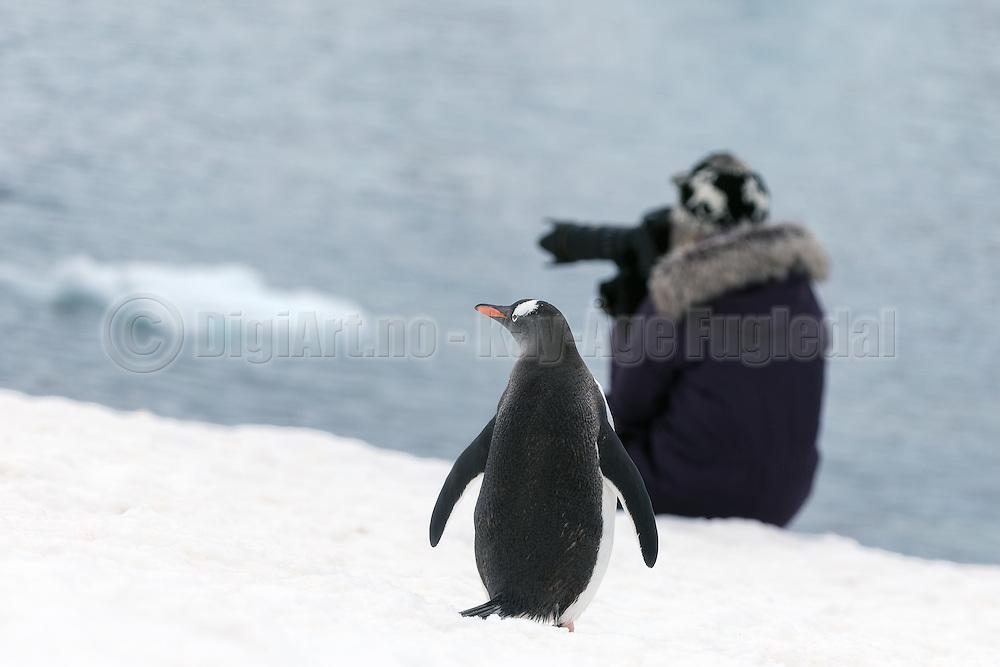 a Gentoo penguin at Antarctica is wondering about what this photographer is capturing that is nicer than himself   En bøylepingvin på Antarktis lurer på hva denne fotografen fotograferer som er penere enn han selv.