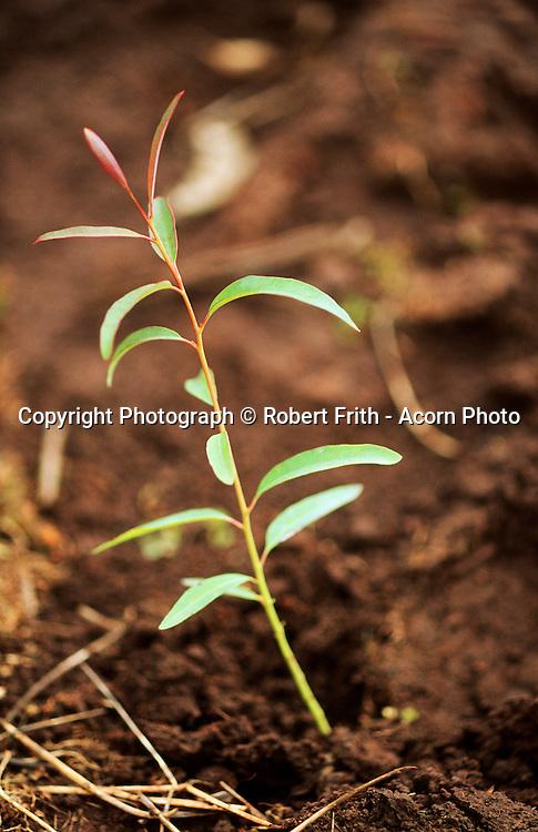 Seedling tree in a blue gum agroforestry plantation