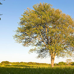 A lone maple tree in a hay field at the Raymond Farm in Ipswich, Massachusetts.