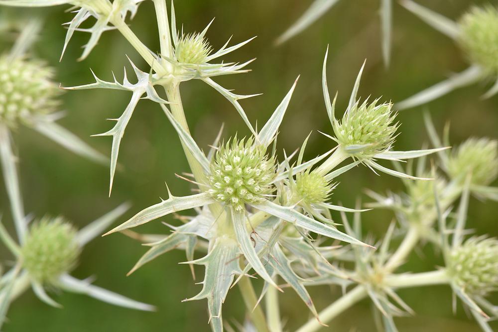 Field Eryngo - Eryngium campestre