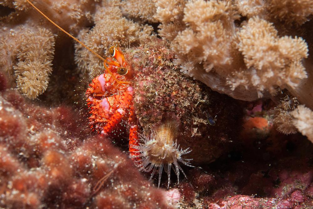 Kermadecs Marine Reserve, Unknown Hermit Crab