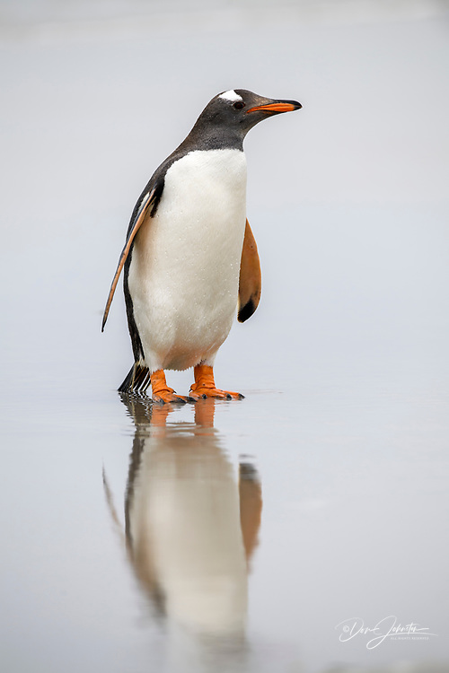 Gentoo penguin (Psygoscelis papua), Saunders Island, West Falkland, Falkland Islands