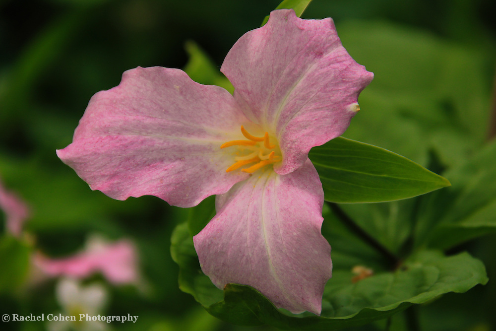 """""""Trillium in Pink""""<br /> <br /> Lovely pink Trillium in the woods of Michigan's Upper Peninsula in spring!!<br /> <br /> Flowers and Wildflowers by Rachel Cohen"""