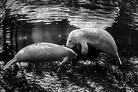 My first black and white! I picked a scene that tells the story of light in the springs and the mysterious manatees. Rather than turning a closeup into a black and white, I wanted my first one to capture an intimate glimpse into manatee lives.  Sunfish, bream, (Lepomis spp.) are present. Florida manatee (Trichechus manatus latirostris). Endangered. Three Sisters Springs, Crystal River National Wildlife Refuge, Florida.