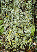Yellow green lichen covers a tree in Switzerland.