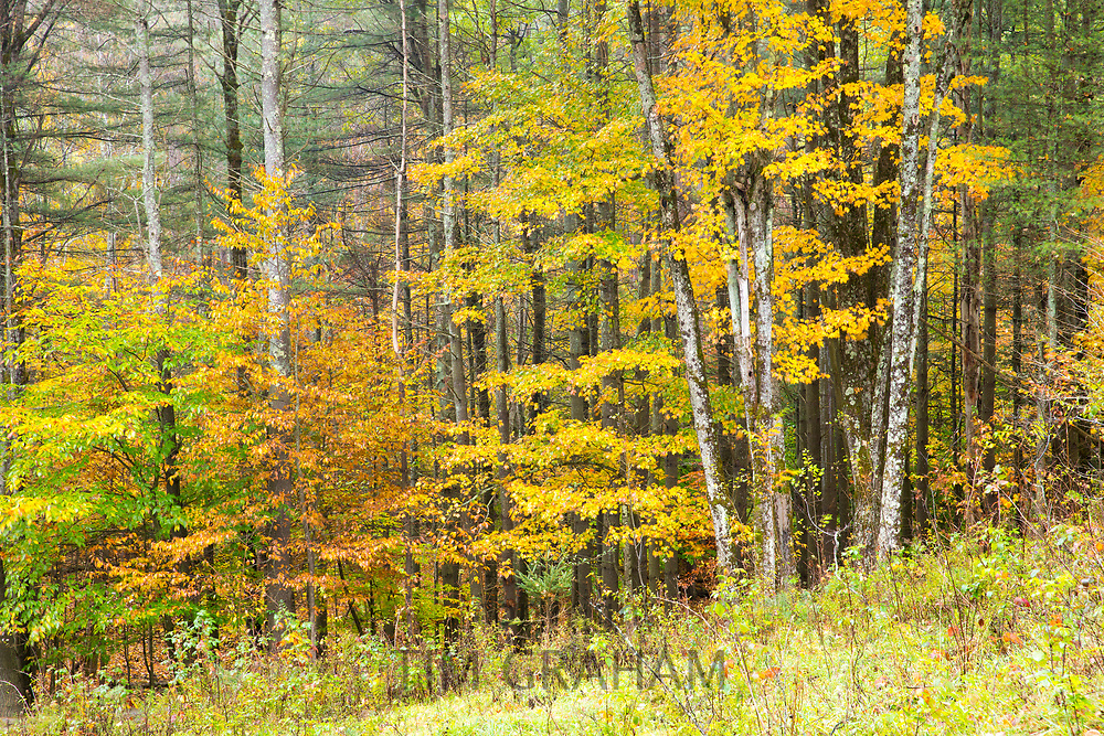 Fall foliage colours of Aspen trees near Woodstock in Vermont, New England, USA