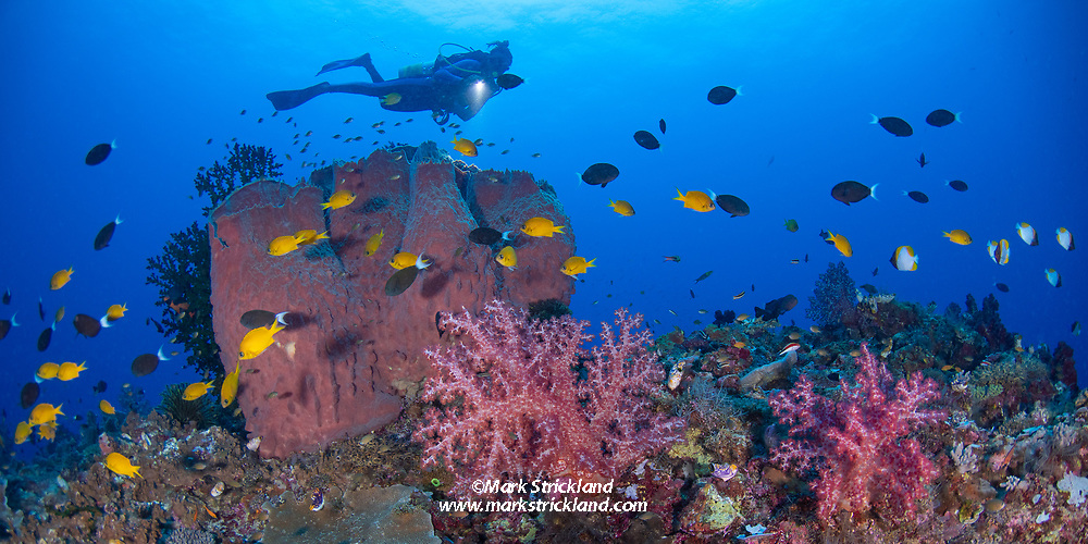 A diver swims above a thriving coral reef, including barrel sponge, soft corals and various reef fish. Kimbe Bay, Papua New Guinea, Pacific Ocean