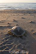 Australian flatback sea turtle ( Natator depressus ) female returns to ocean after nesting, leaving tractor-like tracks in sand, Crab Island, off Cape York Peninsula, Torres Strait, Queensland, Australia