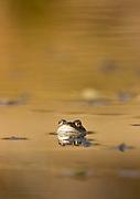 Frog in pond. Surrey, UK.