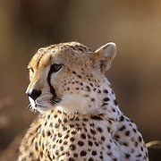 Cheetah, (Acinonyx jubatus) Portrait of adult.Serengeti Plains. Masai Mara Reserve. Kenya.