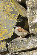 House sparrow, Passer domesticus, male by nest site in stone wall, Inverness-shire, Highland. <br /> bird; birds; sparrows; bright, sunny; urban; walls;<br /> one; single; alone; lone; look; looking; watch; watching;<br /> animal; animals; wildlife; nature; perch; perched;