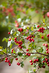 Hawthorn berries growing in a hedgerow by a lane. Crataegus monogyna - Common hawthorn, Maythorn, Motherdie, Quickthorn, Hedgerow thorn