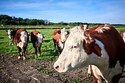 Koeien in de polder - Cows in dutch polder