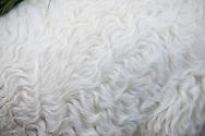 Detail of a lamb's fur