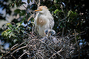 A cattle egret (Bubulcus ibis) parent looks over it new born chicks in a nest in the trees in Denver, Colorado.