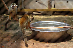 August 3, 2017 - Huaibei, Huaibei, China - Huaibei, CHINA- July 27 (EDITORIAL USE ONLY. CHINA OUT)..A monkey enjoys the cool at a zoo in Huaibei, east China's Anhui Province, July 27th, 2017. (Credit Image: © SIPA Asia via ZUMA Wire)