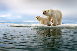 Polar Bear family, a mother and two cubs, have reached the edge of the sea ice in Svalbard. In recent years, sea ice has been melting sooner and returning later each year. Polar Bears depend on sea ice for survival and hunting, and without it they'll go extinct. Polar Bear population is listed as Vulnerable in the IUCN and scientists predict they may go extinct within this century. <br /> <br /> BIO: As a pro wildlife photographer, Roie Galitz has been traveling all over the world, capturing intimate and rarely seen moments for leading magazines and films. With equal passion and commitment, Roie is acting as a Greenpeace ambassador and engaging in conservation work around the globe. His video and still photography is a strong testimony to the struggle of the majestic animals he meets throughout his expedition, under the threats of climate change . To help protect them, he shares their stories in fascinating talks. He is recognized for his talks at the United Nations HQ, the NYC Climate Week and 3 TEDx talks alongside global conventions everywhere. Galitz is also an ambassador for Gitzo, Lowepro, G-Technology and other brands. <br /> <br /> WEBSITE: www.galitz.com <br /> INSTAGRAM: @roiegalitz