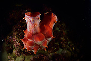 Sea pineapple (Halocynthia roretzi) is an edible ascidian (sea squirt) consumed primarily in Korea, where it is known as meongge (멍게). The Common Sea Squirt or Hoya (海鞘 in Japanese) is a tunicate a marine invertebrate animal. Toyama Bay, Namerikawa, Japan | Die Seeananas (Halocynthia roretzi) ist ein essbarer Ascidian, der hauptsächlich in Korea. Seescheiden (Ascidiae oder Ascidiacea) sind sessile Manteltiere. Toyama-Bucht, Namerikawa, Japan