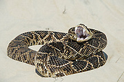 Eastern Diamondback Rattlesnake (Crotalus adamanteus) on Dunes<br /> Manipulated<br /> Little St Simon's Island, Barrier Island off Georgia<br /> USA<br /> RANGE: Southern United States