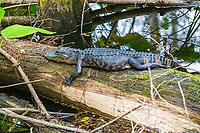 A well-fed juvenile American alligator enjoys a sun-warmed log in the Corkscrew Swamp near Naples, Florida.