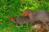 Mongooses mating, Yala National Park, Southern Province, Sri Lanka.