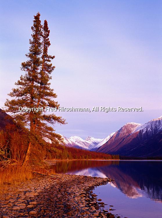 Forked white spruce along the rocky shore of Kontrashibuna Lake, Lake Clark National Park, Alaska.