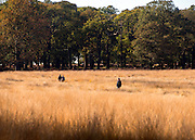 © Licensed to London News Pictures. 04/11/2014. Richmond, UK. People wander through the autumnal grasses and trees.  People and animals enjoy the warm sunshine in Richmond Park, Surrey today 4th November. Britain has experienced unseasonably warm weather recently.  Photo credit : Stephen Simpson/LNP