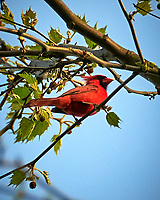 Northern Cardinal. Image taken with a Nikon D300 camera and 18-200 mm lens.