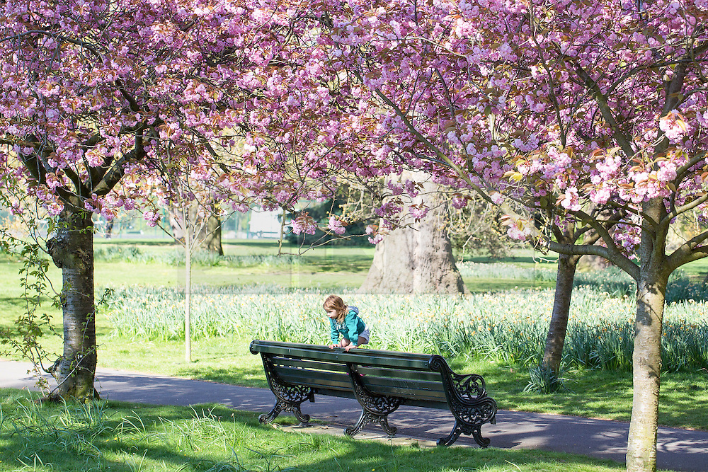 © Licensed to London News Pictures. 21/04/2015.  A child balances on a bench in the avenue of cherry blossom at Greenwich Park.  The beautiful cherry blossom on trees in Greenwich Park is much anticipated each Spring and popular with locals and visitors alike . Credit : Rob Powell/LNP