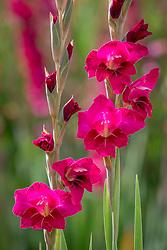 Gladiolus 'Gwendolyn'