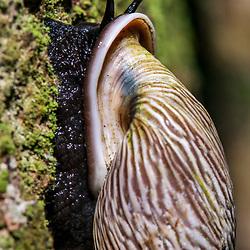 """""""Caracol-florestal (Burringtonia pantagruelina) fotografado em Linhares, Espírito Santo -  Sudeste do Brasil. Bioma Mata Atlântica. Registro feito em 2015.<br /> <br /> <br /> <br /> ENGLISH: Forest snail photographed in Linhares, Espírito Santo - Southeast of Brazil. Atlantic Forest Biome. Picture made in 2015."""""""