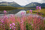 A lone bee feeds on Fireweed flowers (Epilobium angustifolium) on the shores of a small lake on the road between Chitina and McCarthy, Alaska.