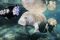 Florida manatee, Trichechus manatus latirostris, a subspecies of the West Indian manatee, endangered. A female snorkeler is observing a manatee mother and calf on a cool Florida day. The manatees are calm and the mother seems to like the admiration of her little calf. Facing forward towards viewer. Horizontal orientation and polite, passive observation. Three Sisters Springs, Crystal River National Wildlife Refuge, Kings Bay, Crystal River, Citrus County, Florida USA.