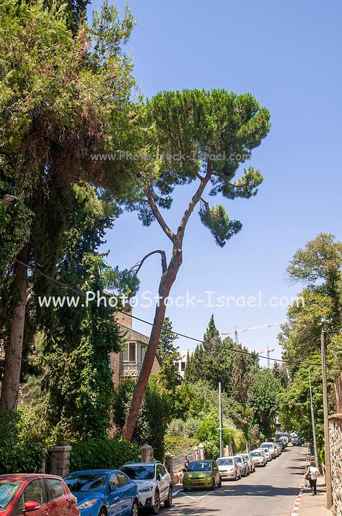 Pinus halepensis, commonly known as the Aleppo pine or Jerusalem pine Photographed in Rehaviya neighbourhood, Jerusalem, Israel
