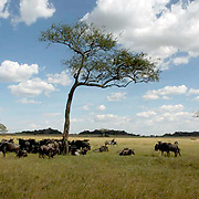 Wildebeest (Connochaetes taurinus) During migration in Serengeti National Park, more than 200,000 zebras migrate along side one million wildebeest and 300,000 Thomson's gazelles. Tanzania. Africa. February.