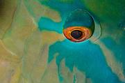 Redlip Parrotfish (Scarus rubroviolaceus)<br /> Raja Ampat<br /> West Papua<br /> Indonesia
