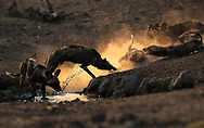 This photograph was taken in 2016 in Mana Pools National Park. It is of Blacktip's pack who found refuge in a tiny waterhole after the death of Tennessee who was killed by a crocodile - a dramatic event in the BBC's film Dynasties. Having found this safe water, they stayed by it for 14 days and they enjoyed nothing more than kicking up dust and water as they played in the last light of the sun.