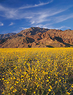 """CADDV_049 - USA, California, Death Valley National Park, Huge field of desert sunflower blooms beneath the Black Mountains. A very wet winter produced this rare """"hundred year bloom""""."""