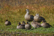 blue-winged goose (Cyanochen cyanoptera) and yellow-billed duck (Anas undulata) Photographed in Ethiopia in November