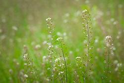 Shepherd's Purse. Capsella bursa-pastoris