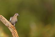 White-winged Dove (Zenaida asiatica) Amado, Arizona<br /> animals<br /> wildlife<br /> birds