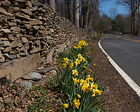 Daffodils. Image taken with a Leica CL camera and 18 mm f/2.8 lens.