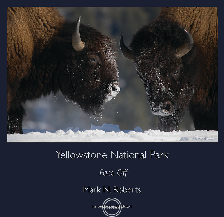 Two bison Face off near the Soda Butte in the Lamar Valley of Yellowstone National Park.