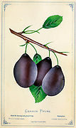 German Prune plum from Dewey's Pocket Series ' The nurseryman's pocket specimen book : colored from nature : fruits, flowers, ornamental trees, shrubs, roses, &c by Dewey, D. M. (Dellon Marcus), 1819-1889, publisher; Mason, S.F Published in Rochester, NY by D.M. Dewey in 1872