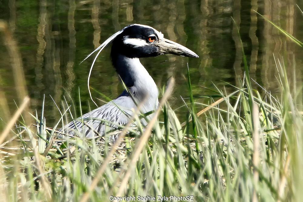 Yellow-crowned Night-Heron in the Marsh