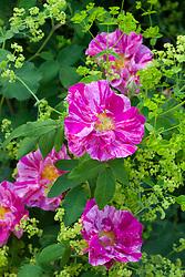Rosa mundi syn. Rosa gallica 'Versicolor' with Alchemilla mollis
